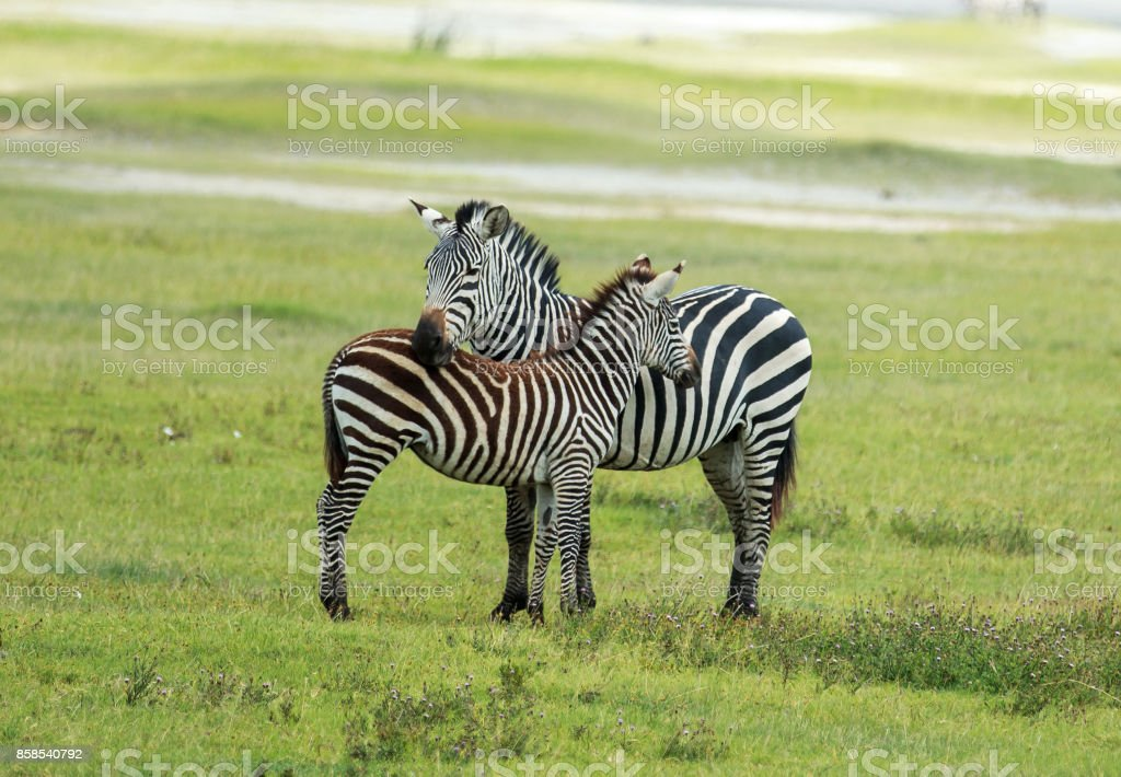Plains Zebra with a foal inside the Ngorongoro Crater stock photo