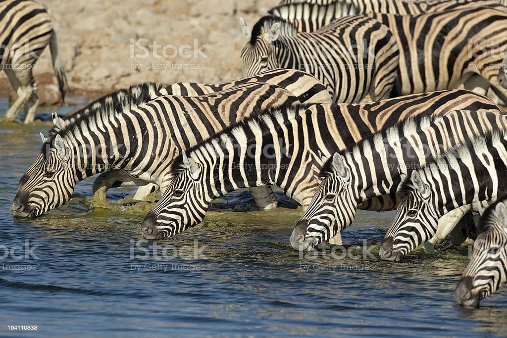 Plains Zebras drinking water royalty-free stock photo