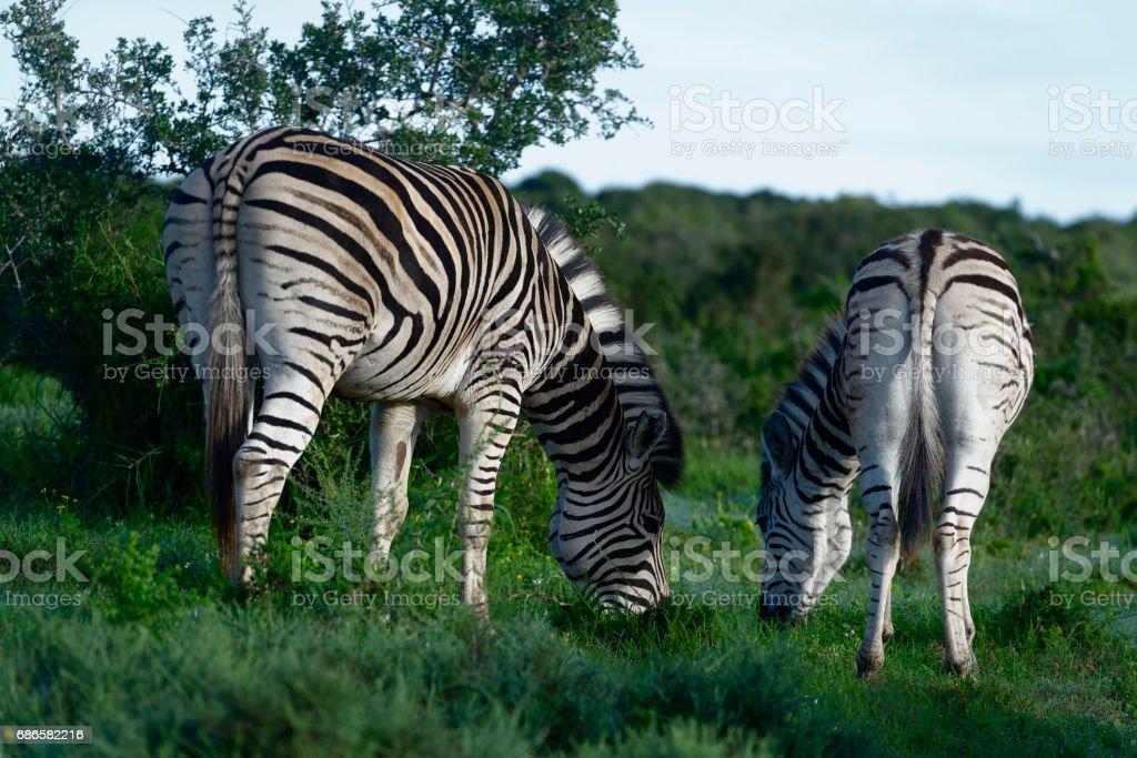 Plains Zebras foraging in Addo Elephant National Park photo libre de droits