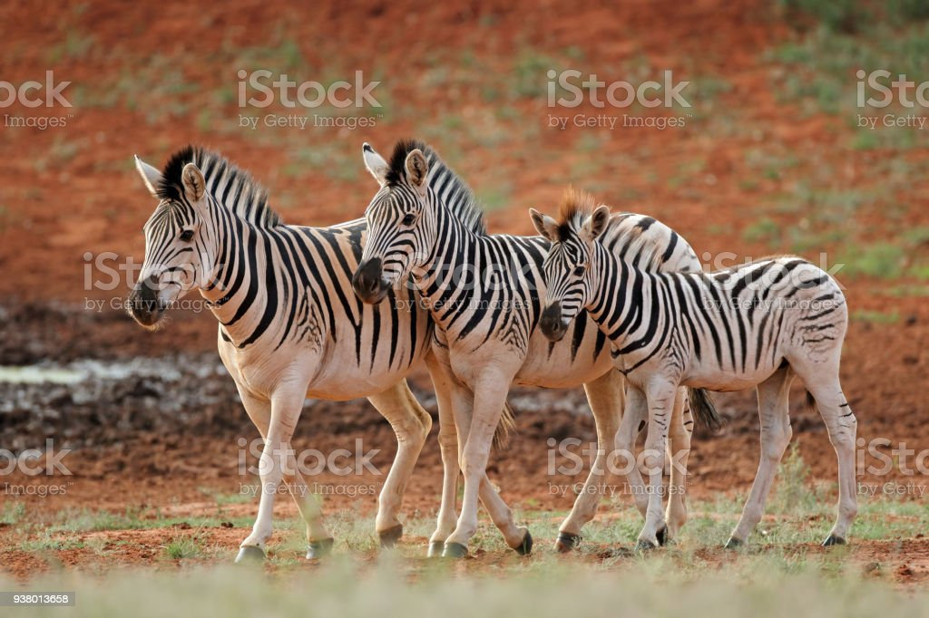 Plains zebras in natural habitat stock photo