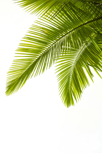 Plam leaves isolated on white