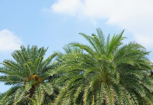 Plam tree leaf