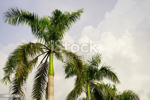 Plam trees on sky background.