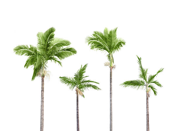 Plam trees on white picture id155486828?b=1&k=6&m=155486828&s=612x612&w=0&h=4gpt5leozlp9wafw1jdnhc2utksm tlurgxv5p ivfs=
