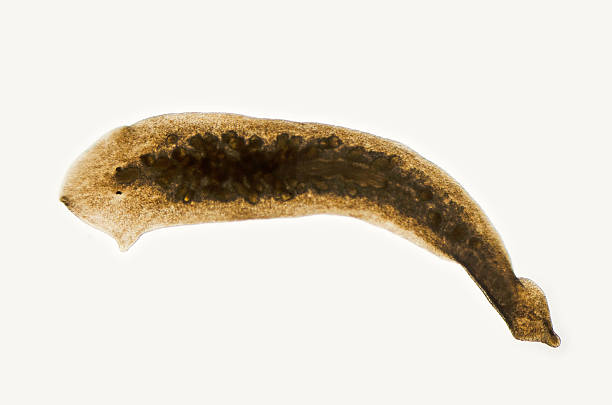 planaria, Dugesia species, micrograph stock photo