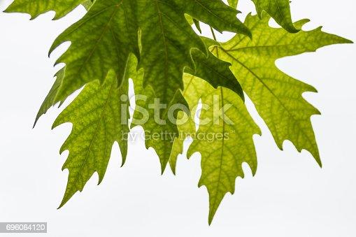 175407085istockphoto Plane tree, sycamore leaves 696064120