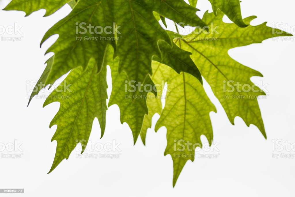 Plane tree, sycamore leaves stock photo