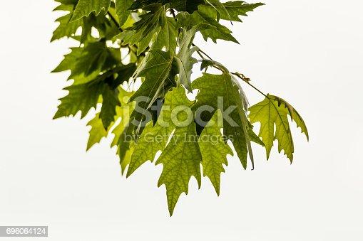 175407085istockphoto Plane tree, sycamore leaves 696064124