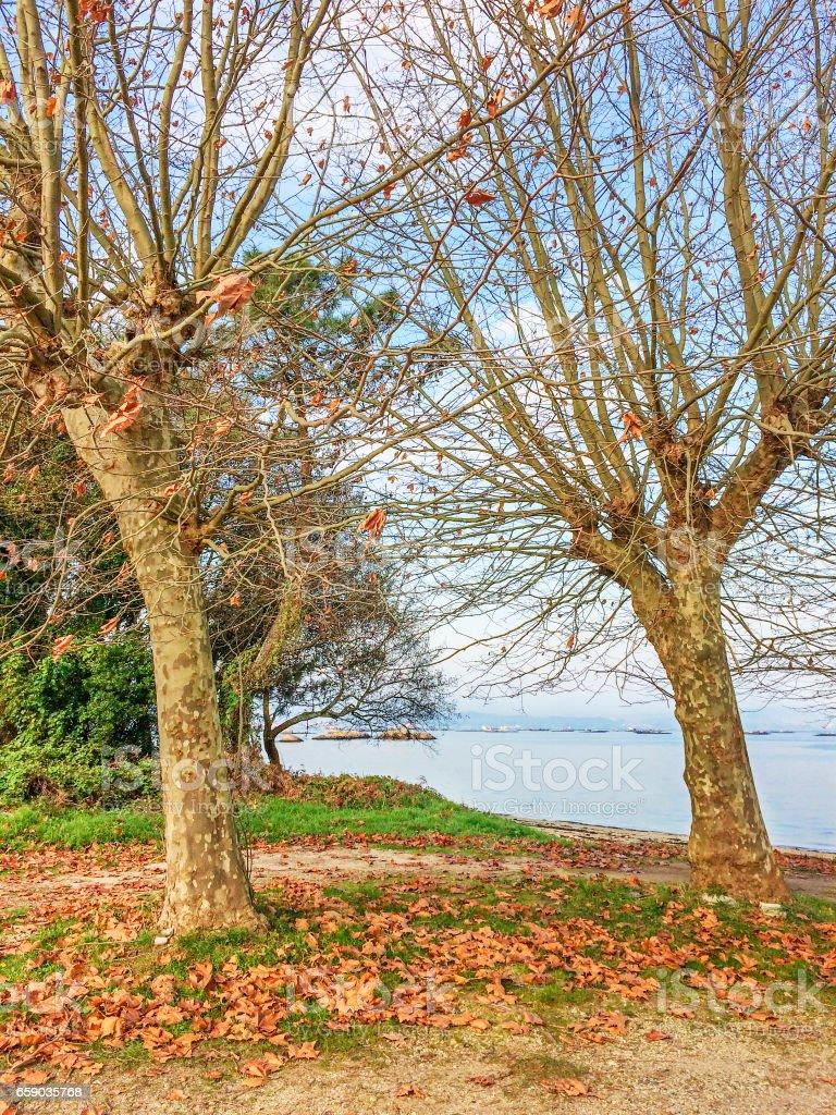 Plane trees in autumn royalty-free stock photo