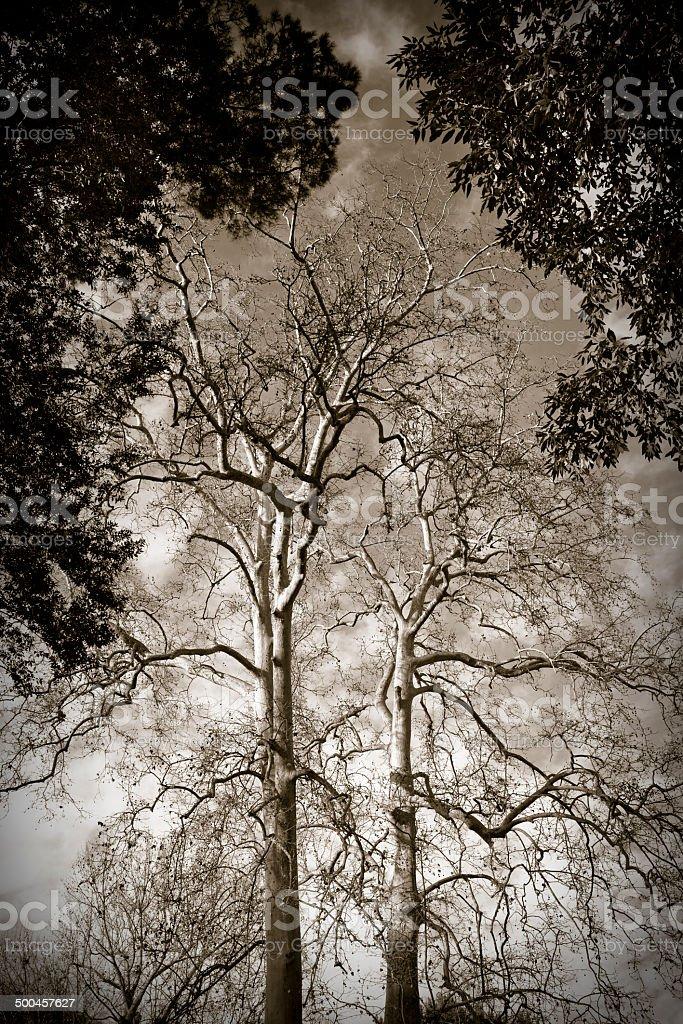 Plane Trees stock photo