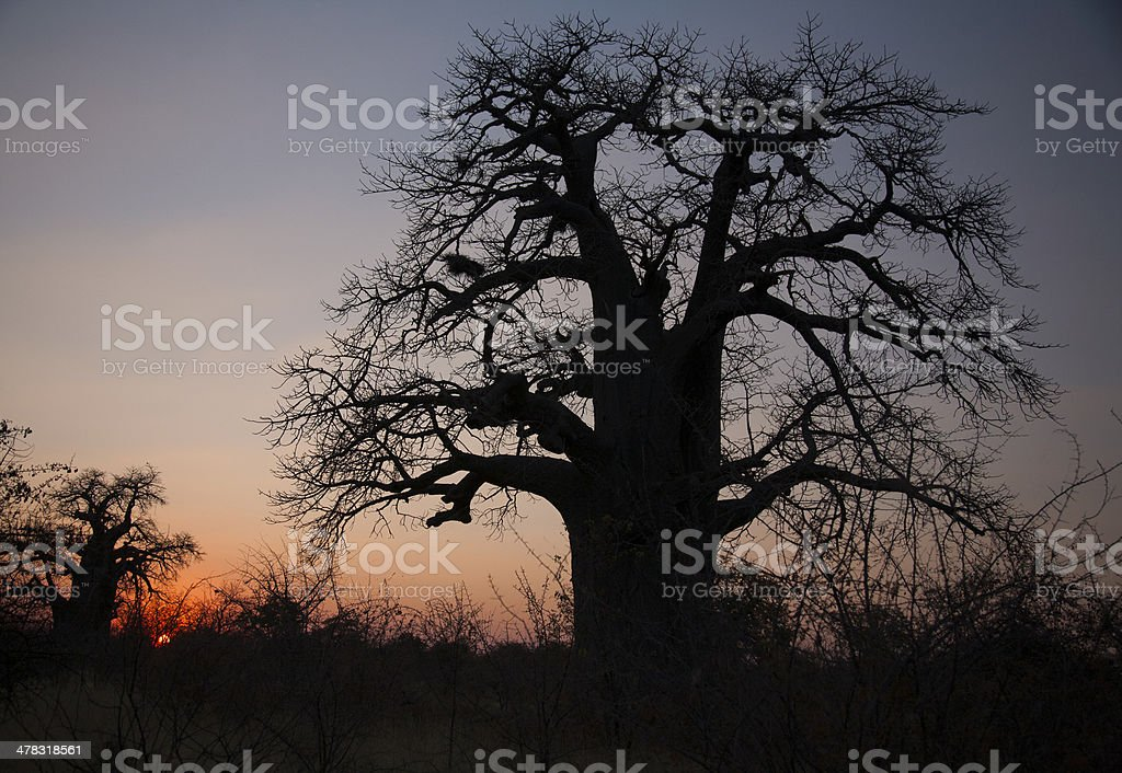 Planet Baobab royalty-free stock photo