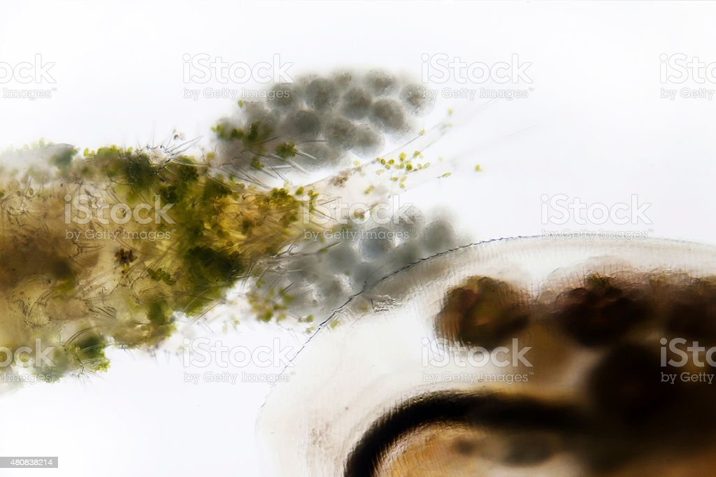 Plankton stock photo