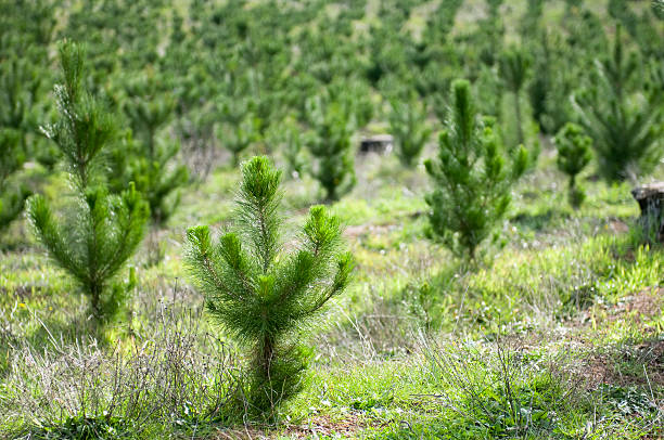 Plant a Tree Rows of recent planted of young pine trees. cultivated land stock pictures, royalty-free photos & images