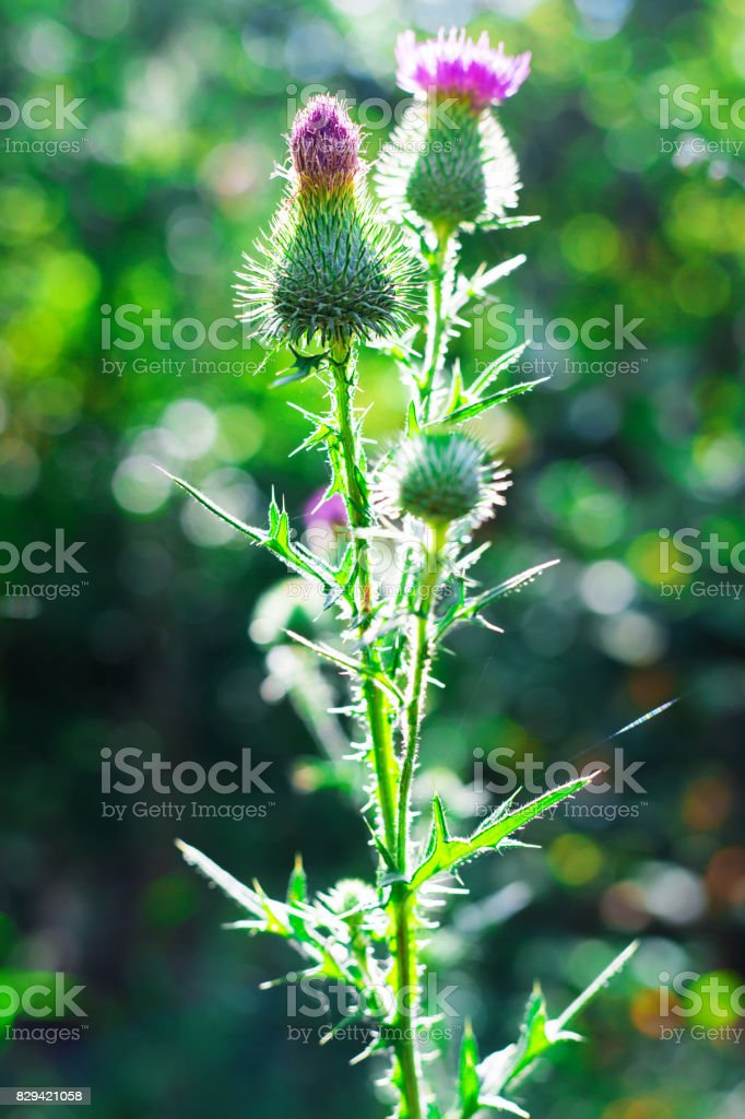 plant agrimony with pink flowers close up stock photo