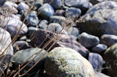 Plant and Some Rocks Photographed in Finland