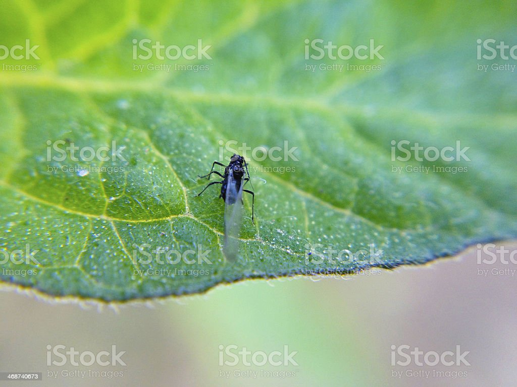 Plant Bug / Aphid stock photo