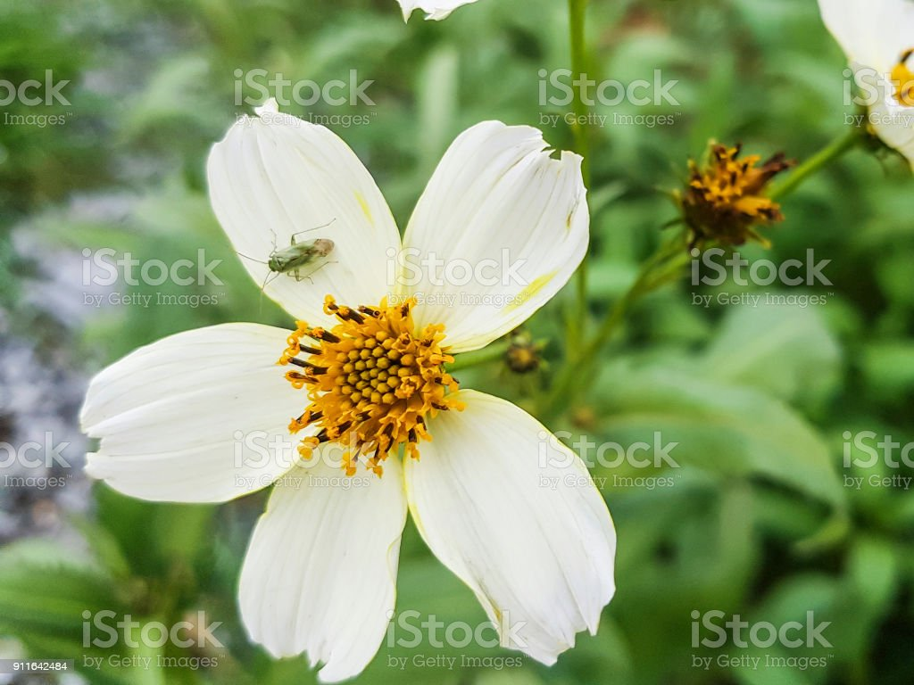 Plant bug over a flower stock photo