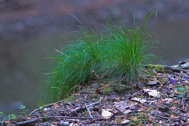 plant capecchina stock photo