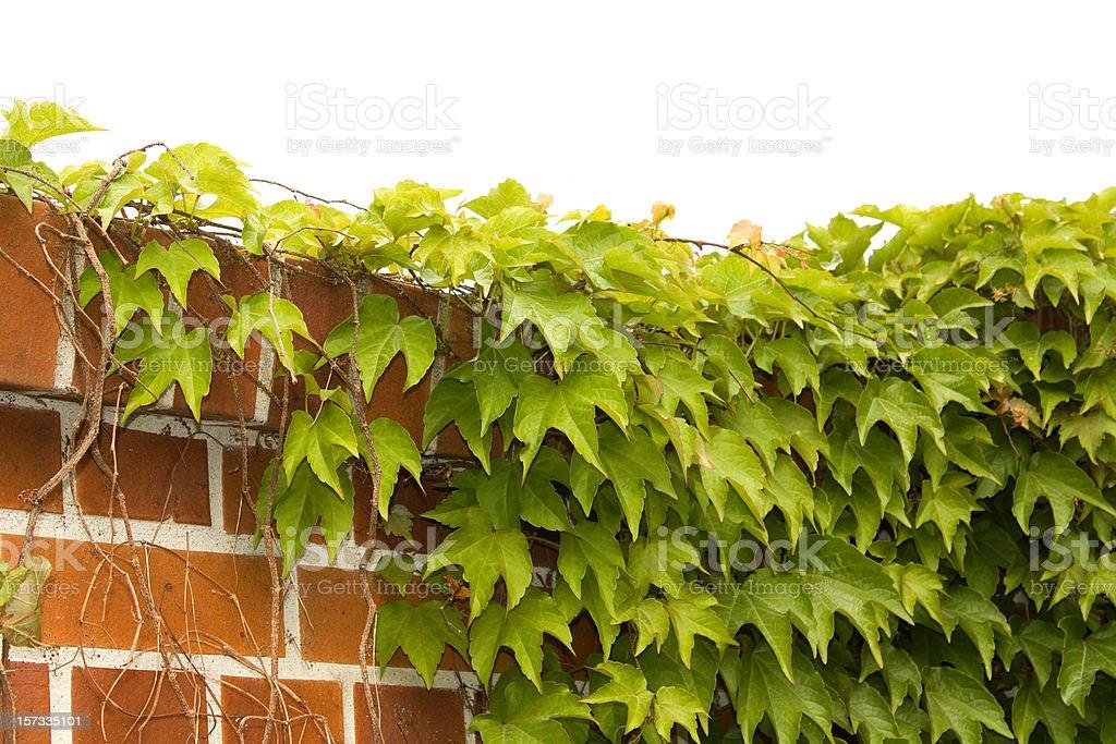 Plant climbing on wall stock photo