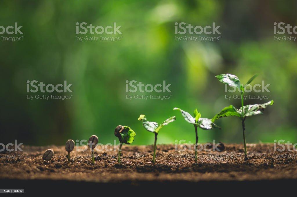 Plántulas de café de la planta en la naturaleza cerca de la planta verde fresca foto de stock libre de derechos