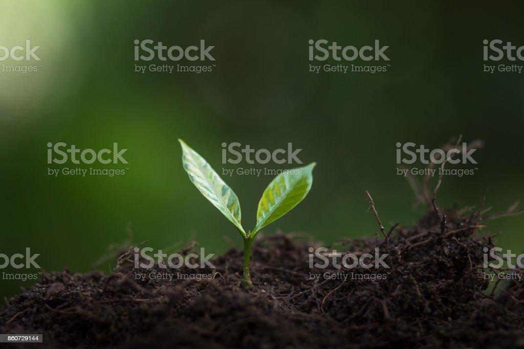 Pflanzen Sie Kaffee Setzlinge in der Natur – Foto