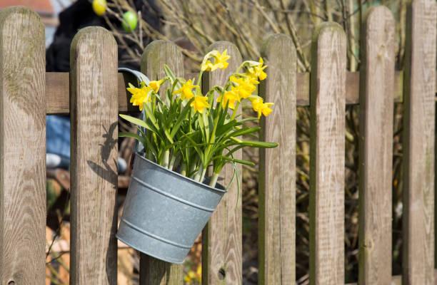 Pflanzbehälter mit Narzissen, die an einem Zaun hängen – Foto