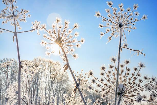 växten är täckt av snö mot blå himmel - januari bildbanksfoton och bilder