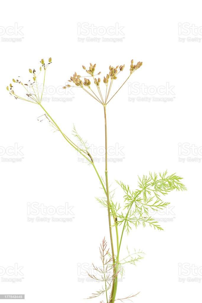 plant cumin stock photo