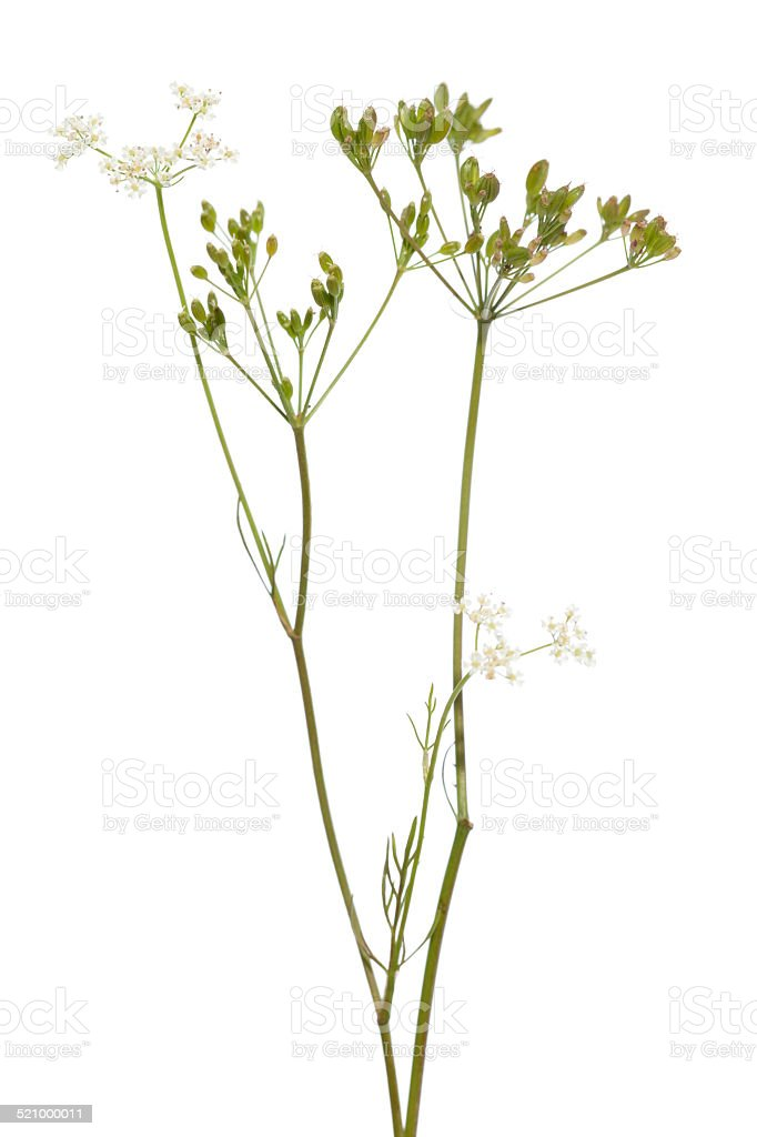 plant cumin stock photo