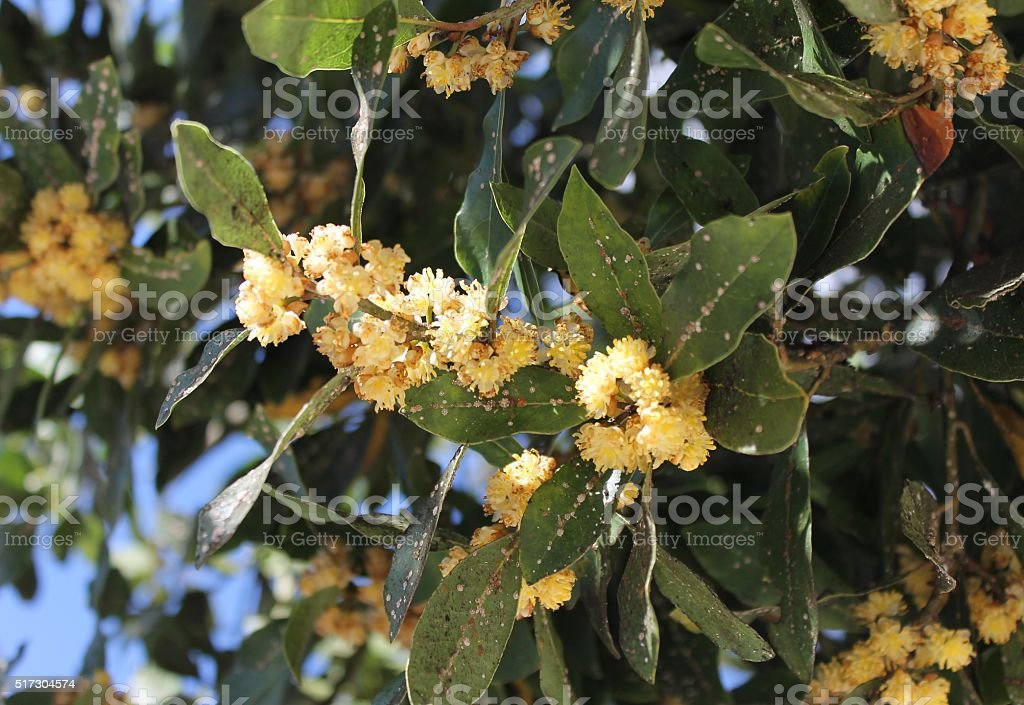 Plant diseases. Pests at laurel tree Flowering branch of laurel tree, struck by insects Bay Leaf Stock Photo