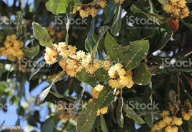 Plant Diseases Pests At Laurel Tree Stock Photo - Download Image Now
