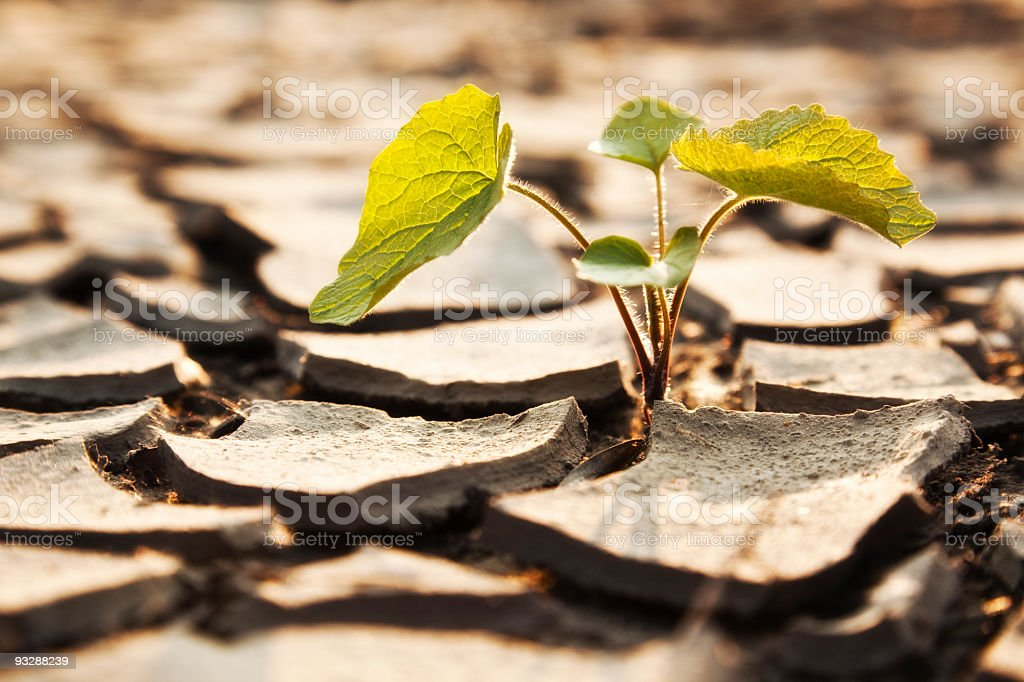 Plant fighting drought royalty-free stock photo