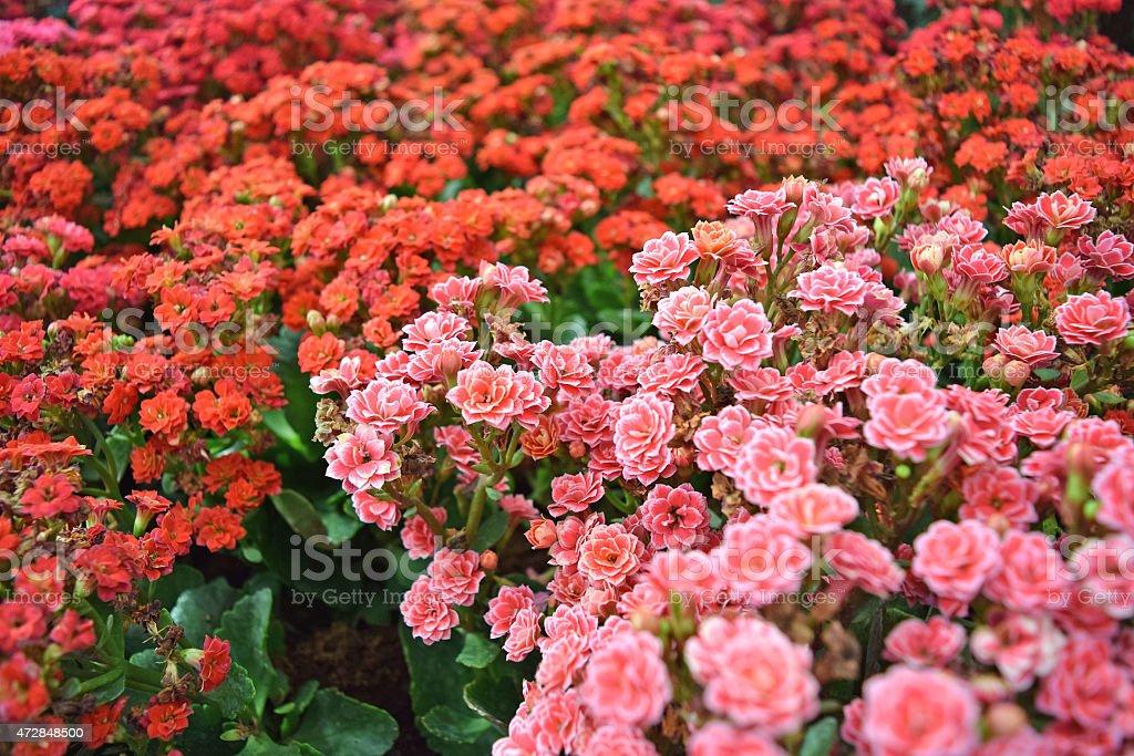 Pianta Fiori Rosa.Pianta Di Fiori Rosa E Rosso Calancola Blossfeldiana Fotografie