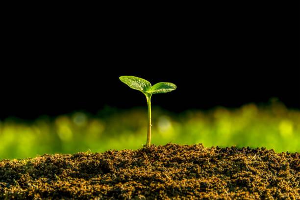 植物從地下發芽 - 幼苗 個照片及圖片檔