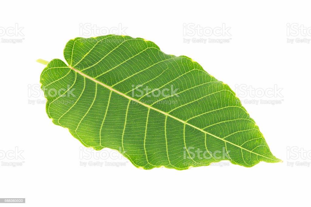 Plant green leaf, taro leaf stock photo