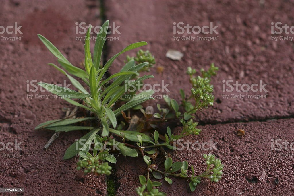 Plant grow between bricks royalty-free stock photo