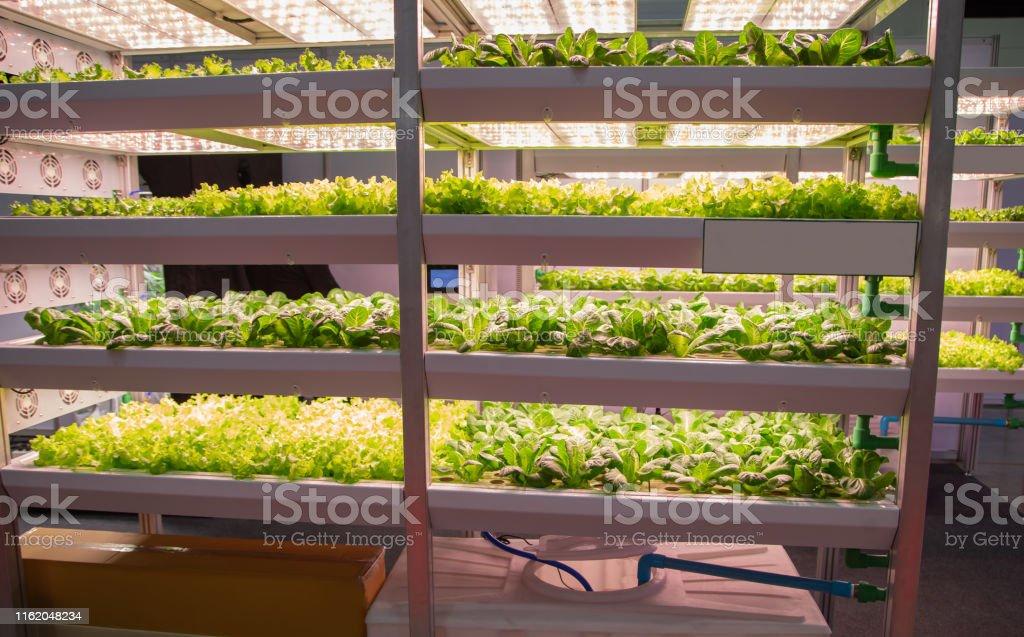 Vegetable grow with artificial LED lighting in indoor vertical...