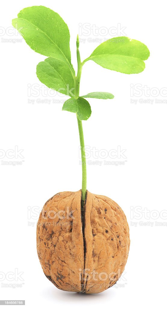 Plant growing from walnut shell stock photo