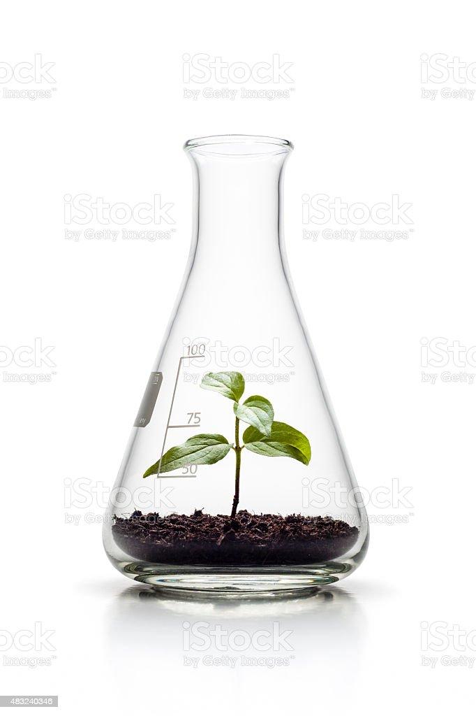 Plante de plus en plus d'un caractère génétique Erlenmeyer Fiole conique à la croissance - Photo