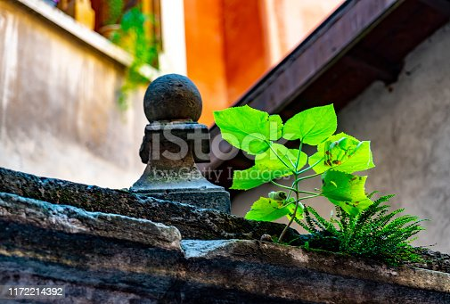 Plant growing in an old roof in Lyon.