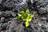 Plant growing in the lava