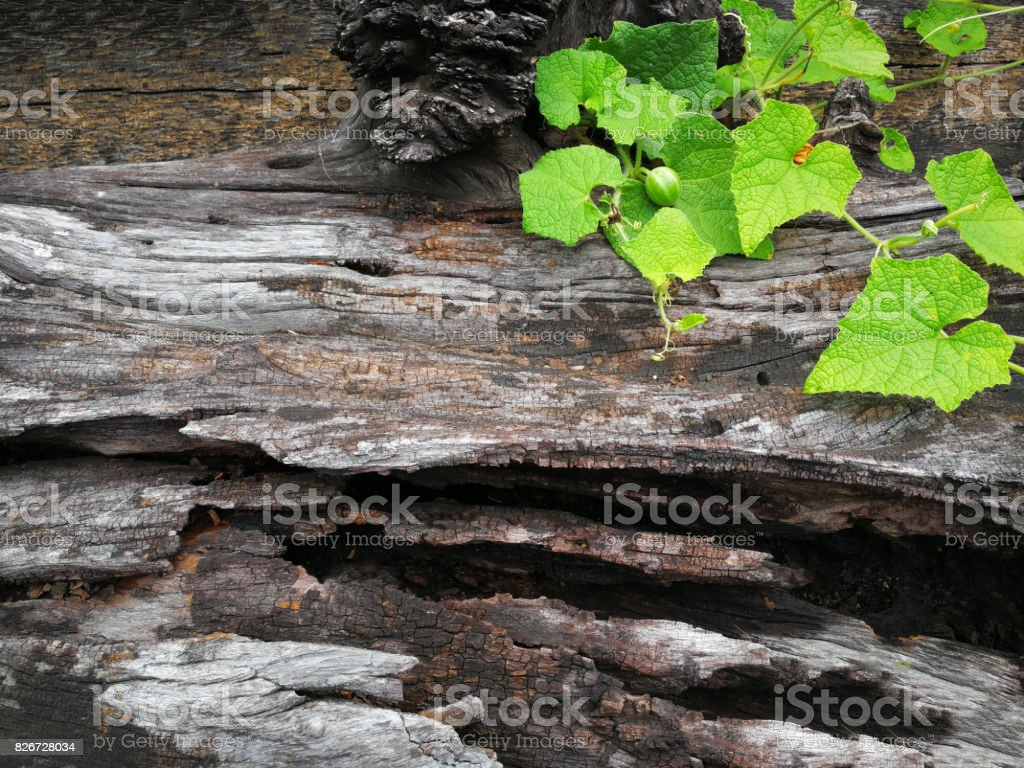 Pianta che cresce su legno in Natural background stock photo