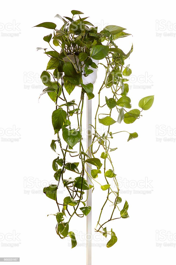 plant  grown in hanging pot stock photo