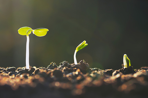 1094263056 istock photo plant growth in farm with sunset background. agriculture seeding growing step concept 1184776642