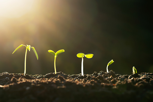 1094263056 istock photo plant growth in farm with sunset background. agriculture seeding growing step concept 1184776643