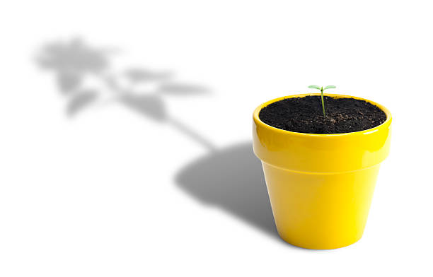 Plant Growth Sunflower seedling in yellow pot with shadow of full grown sunflower. Isolated on white. hope concept stock pictures, royalty-free photos & images