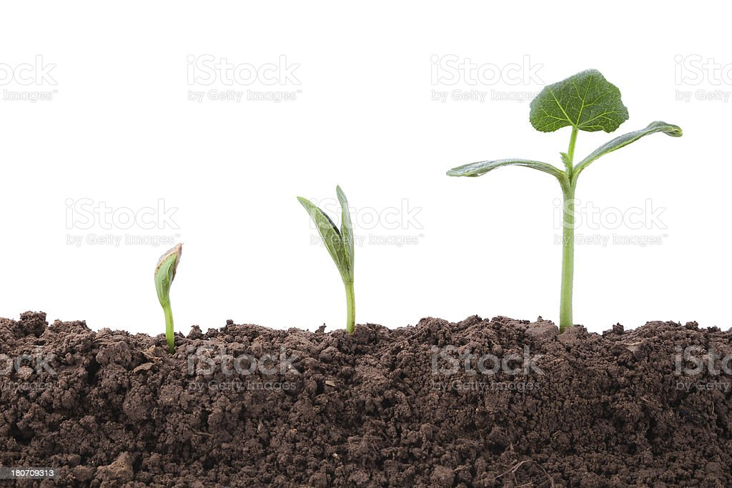 Plant growth Sequence in dirt isolate on white background royalty-free stock photo
