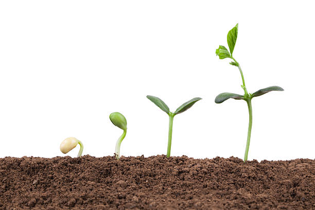plant growth sequence in dirt isolate on white background - pea sprouts bildbanksfoton och bilder