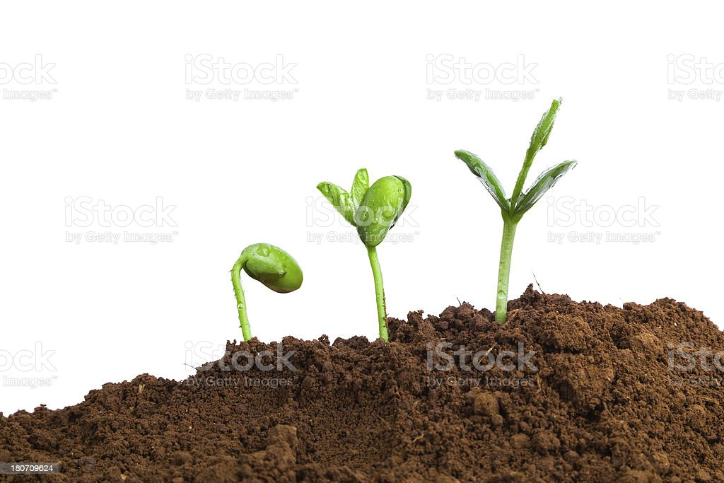 Plant growth Sequence in dirt:green bean isolate on white background royalty-free stock photo