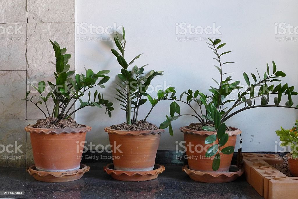 plant in clay pots stock photo